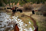 Cattle_Drive_4_-_Snow_Cattle